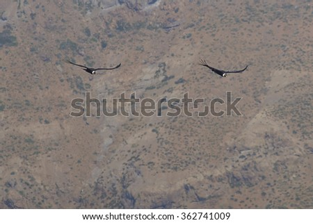 Pair of mature wild Andean Condor (Condor Vultur gryphus) flying against a background of the Andes Mountains near Santiago in Chile. - stock photo