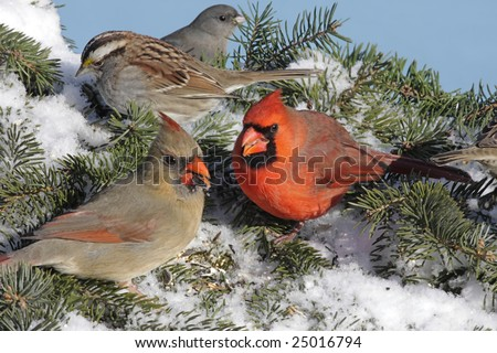Pair of Northern Cardinals (cardinalis cardinalis) White-throated Sparrow (Zonotrichia albicollis) and Dark-eyed Junco (hyemalis) at a feeder in winter - stock photo