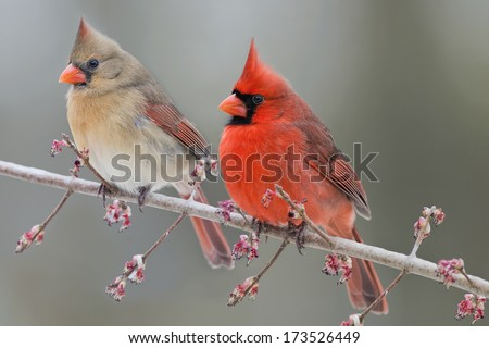 Pair of Northern Cardinals on Swamp Maple Branch - stock photo