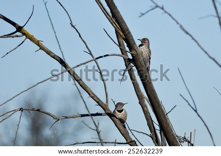 Pair of Northern Flickers Perched in a Tree - stock photo