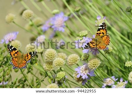 Pair of Painted Ladies Butterflies - stock photo