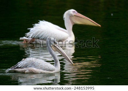 pair of pelicans swimming in a lake - stock photo