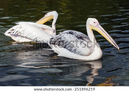 Pair of pelicans. Two magnificent pelicans float casually along a lake. - stock photo