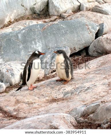 Pair of Penguins - Antarctic Peninsula, Antarctica - stock photo