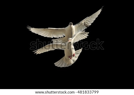pair of pigeons in flight isolated on black