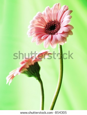 Pair of Pink Gerber Daisies with Green background - stock photo