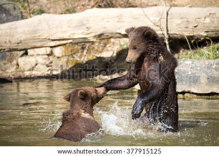Pair of Playing Brown Bear Cubs in Water - stock photo