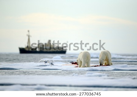 Pair of polar bears with bloody kill seal in water between drift ice with snow, blurred cruise chip in background, Svalbard, Norway - stock photo