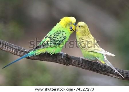 Pair of pretty budgerigar birds preparing to mate - stock photo