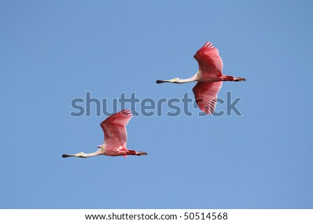Pair of Roseate Spoonbills (Platalea ajaja) flying over the Florida Everglades - stock photo