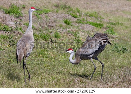 Pair of Sandhill Cranes (Grus canadensis) doing a courtship dance in the Florida Everglades