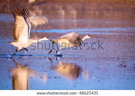 Pair of sandhill cranes ready to take flight at Bosque del Apache in New Mexico. - stock photo