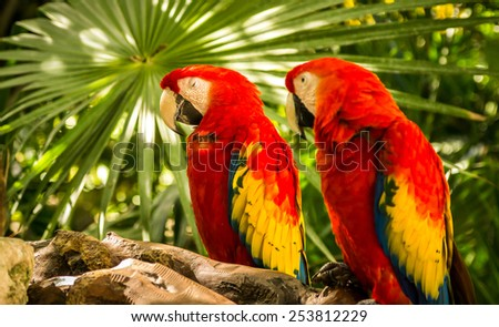 Pair of Scarlet Macaw parrots somewhere in Mexico - stock photo
