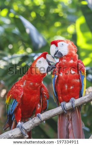 Pair of Scarlet Macaws - stock photo
