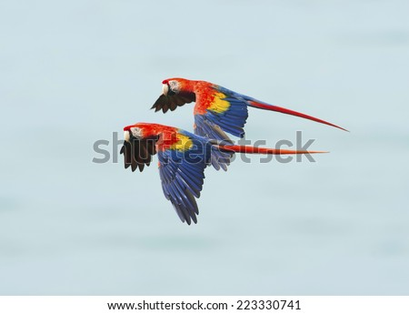 pair of scarlet macaws flying, carate, corcovado national park, golfo dulce, costa rica, central america near panama - stock photo