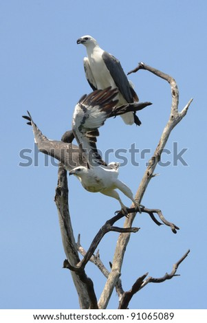 pair of sea eagles on a tree - stock photo