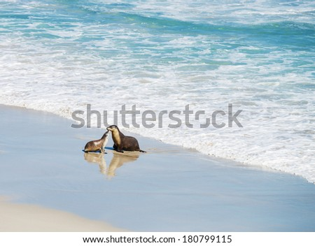Pair of  sea lions at Seal Bay, Kangaroo Island, South Australia  - stock photo