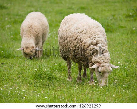 Pair of sheep on the meadow - stock photo