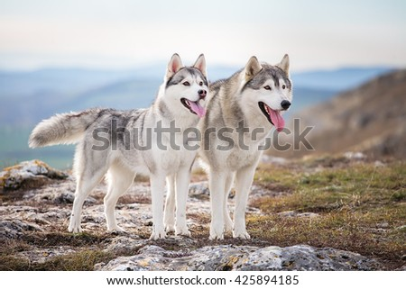 Pair of Siberian husky standing on a mountain - stock photo