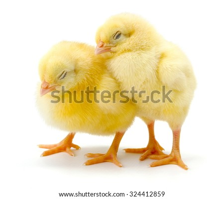 Pair of sleepy newborn yellow chickens standing together on white