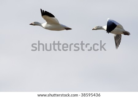 Pair of snow geese migrating against backlit sunset - stock photo