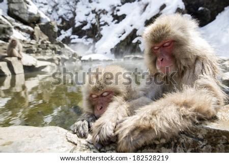 Pair of snow monkeys sleeping in a natural onsen (hot spring), Jigokudani Park near Yudanaka, Japan - stock photo