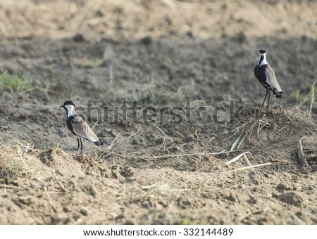 Pair of spur-winged plover lapwing vanellus spinosus stood in a plowed field - stock photo