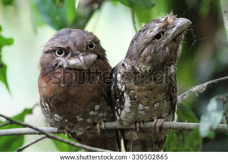 Pair of Sri Lankan Frogmouth - stock photo
