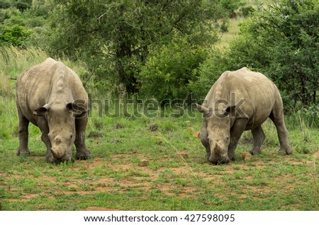 Pair of standing grazing adult square lipped rhinoceros facing camera at Pilanesberg nature reserve South Africa (Ceratotherium simum)