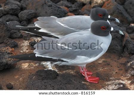 Pair of Swallowtailed Gulls - stock photo