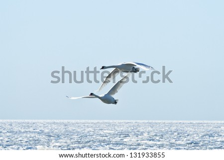 Pair of swans flying over frozen sea