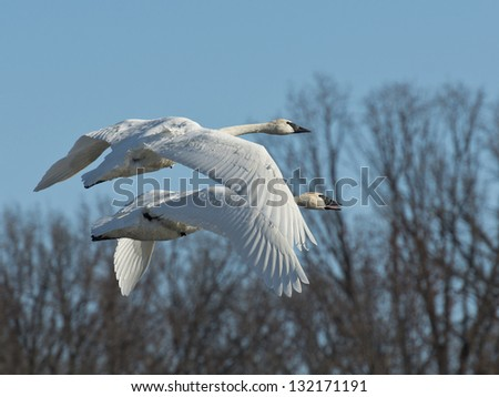 Pair of Swans in flight - stock photo
