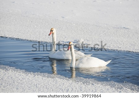 Pair of swans on water among snow. Focus on front swan. - stock photo