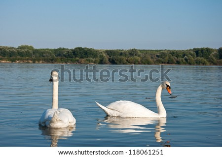 pair of swans swimming in the Danube river - stock photo