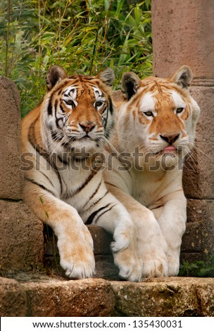 Pair of Tigers led on a rock