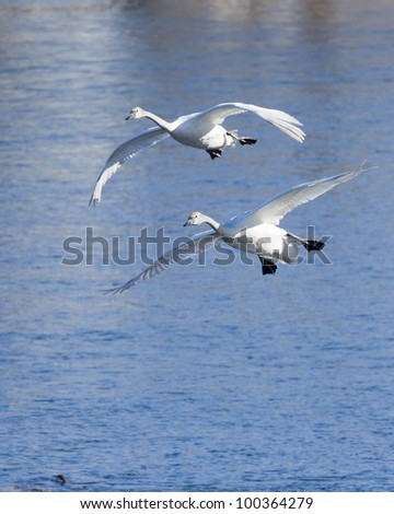 Pair of Trumpeter Swans About to Land - stock photo