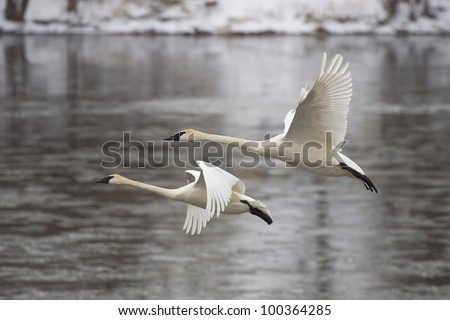 Pair of Trumpeter Swans Over Water - stock photo