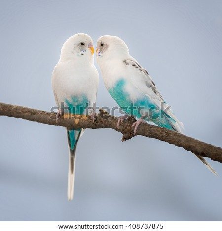 Pair of turquoise and white parakeets perched on bare branch - stock photo