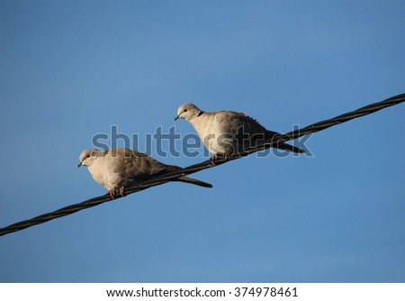 pair of turtledoves  - stock photo
