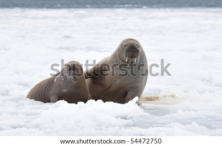 Pair of walruses