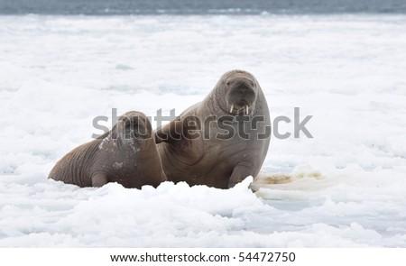 Pair of walruses - stock photo