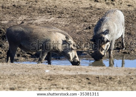 Pair of warthogs drinking at a waterhole in Addo