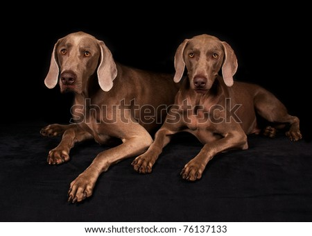 Pair of Weimaraner dogs on black with black background - stock photo
