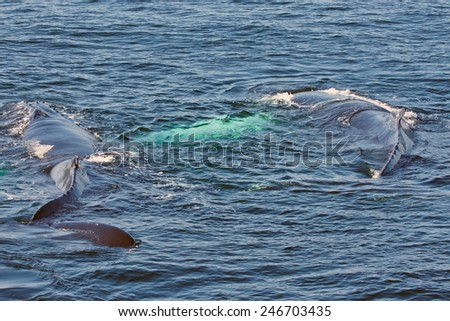 pair of whales - stock photo