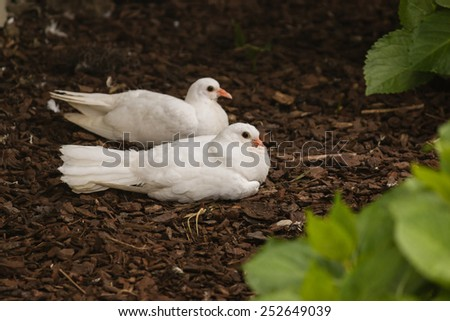 pair of white doves resting on ground - stock photo