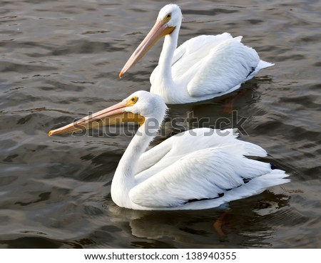 Pair of white pelicans floating on dark water - stock photo