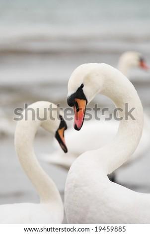 Pair of white swans - stock photo