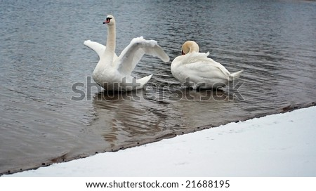 pair of white swans - stock photo