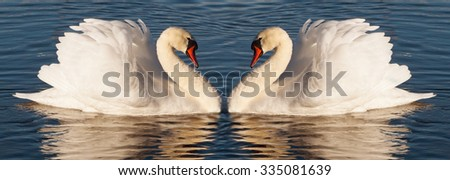 Pair of white swans on the water.
