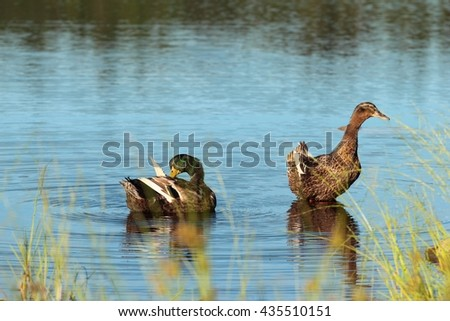 Pair of wild ducks resting on the water - stock photo